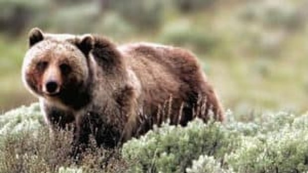 hi-grizzly-attack-852-4col
