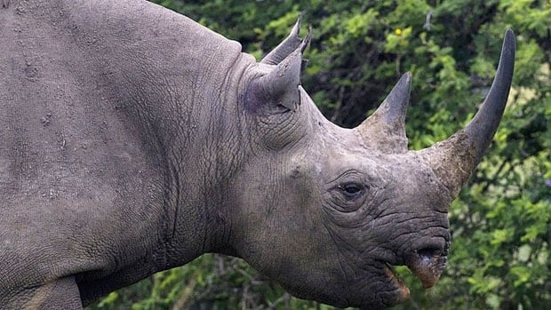South Africa has the continent's largest rhinoceros population. Government statistics show that there have been 618 rhinos poached this year alone.
