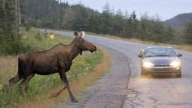 A moose runs in front of a car as it crosses the road in Gros Morne National Park in N.L.