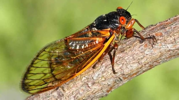"The northeastern U.S. is experiencing a massive emergence of what is known as ""Brood II."" These cicadas are part of a subspecies called Magicicada, and have been living underground for 17 years."
