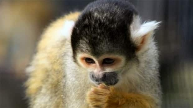 A squirrel monkey named Hercules that was stolen from the Moncton zoo overnight Tuesday has been found after the general manager received an anonymous tip.