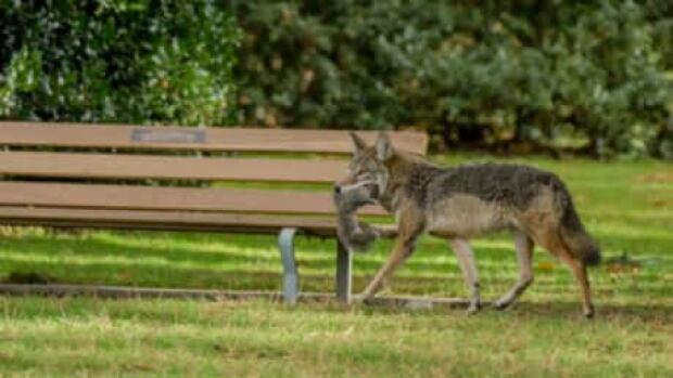 hi-bc-121206-coyote-6col