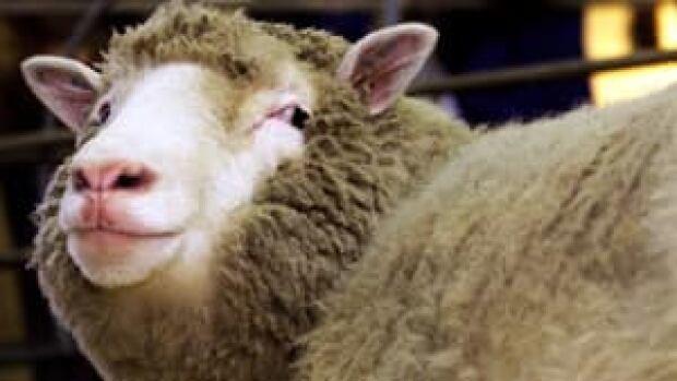 ii-dolly-sheep-rtxkze3