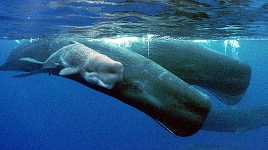 When two whales meet they make patterns of clicks called codas. Female sperm whales spend all year in family groups in subtropical regions of the ocean, while males roam all over the world.
