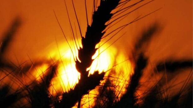 hi-wheat-food-prices852-cp0
