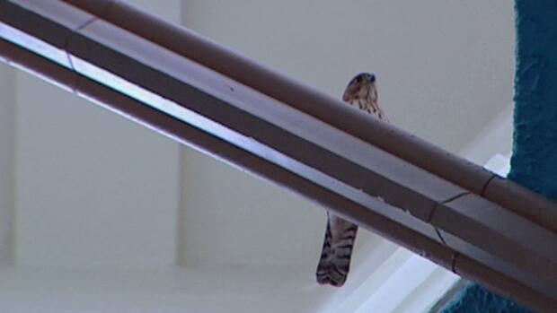 A free-flying cooper's hawk has trapped itself inside Dillon Hall at the University of Windsor on Thursday.