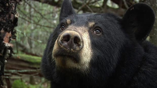 There has been more bear activity in the Sioux Lookout, Ont., area this spring, according to the OPP.
