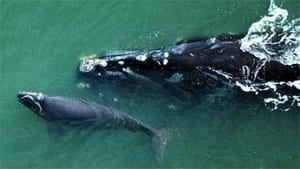 right-whale-noaa