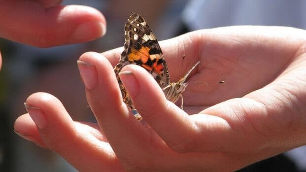 The American painted lady, also called the American lady, is just one of the many butterfly species thriving on P.E.I.