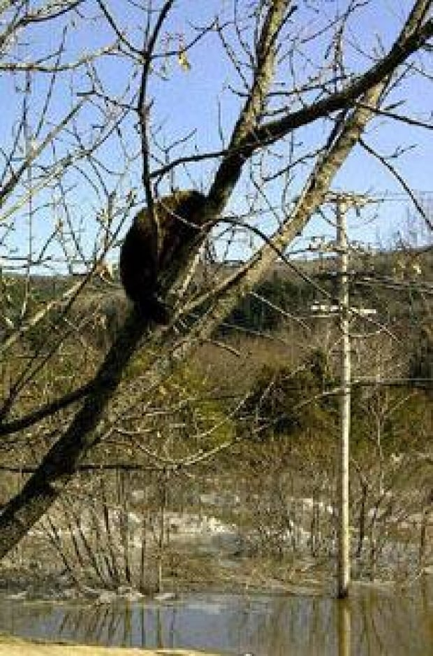 si-nb-tree-groundhog-220