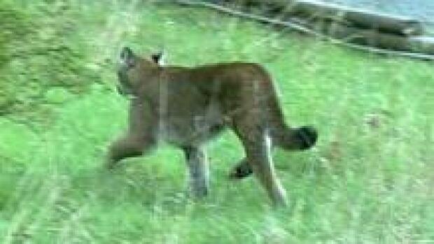 hi-bc-120827-cougar-3col