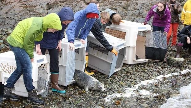 The five seals were released on B.C.'s Sunshine Coast northwest of Vancouver Oct. 16.