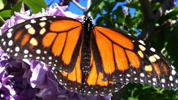The group wants to grow more food to help the monarch butterfly population.