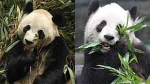 li-pandas-two-toronto-zoo