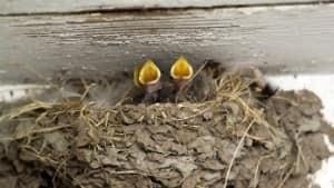 bc-mi-130801-baby-swallows