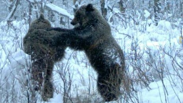 si-bear-fight