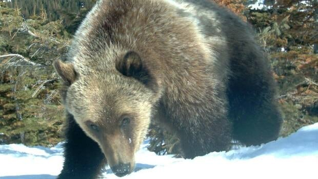 The province's grizzly bear monitoring project has shown there are more bears in southwestern Alberta than previously thought.