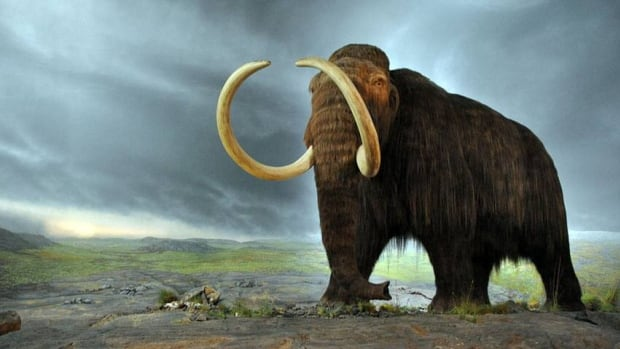 A woolly mammoth model at the Royal B.C. Museum in Victoria, B.C. On Sunday, Andrew Harrelson found a 3.6 metre fossilized mammoth tusk near his home in Alaska, 22 years after his mother found one in the same place.