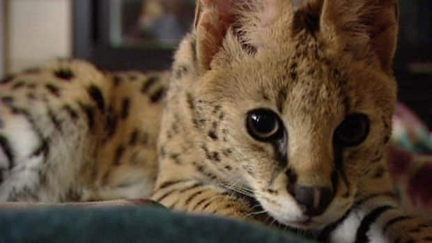 Jagger, the African serval cat, came to Regina from a breeder in British Columbia.