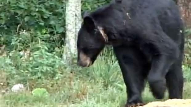 A 400-pound bear in northwestern Ontario is walking around with a snare cutting into the flesh on its neck.