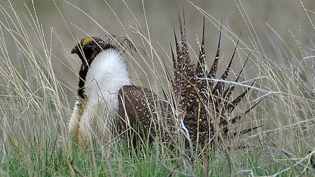 A federal court has ruled the Conservative government can't claim cabinet confidentiality in refusing to disclose whether decisions has been made on protection for the endangered sage grouse.