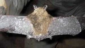 hi-nb-bat-fungus-852-3col