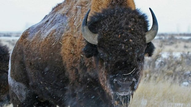 Bison thundered into plains between 195,000 and 135,000 years ago, a new study reveals.