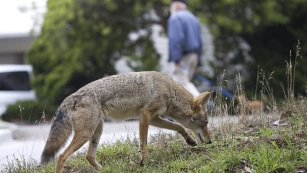A coyote on a public street in San Francisco. Coyote sightings in urban areas have become more common in recent years, which is one of the reasons why the spread of a coyote tapeworm is worrying some animal health specialists. The concern is that as coyotes come into contact with dogs in or near cities, the parasite will spread and could potentially infect humans.