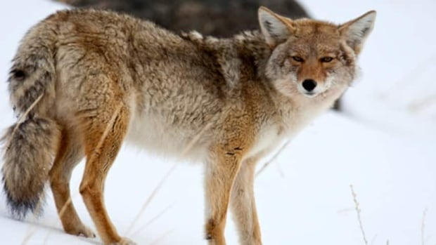 Coyotes, considered a pest in many areas of the province, can be hunted on private land without a permit.