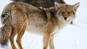 si-220-coyote-istock