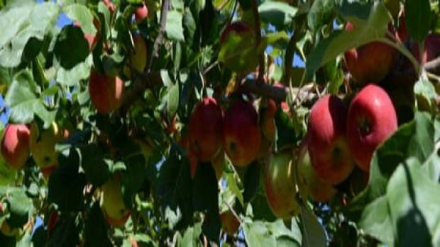 Volunteer fruit pickers in Saskatoon are ready for harvest.