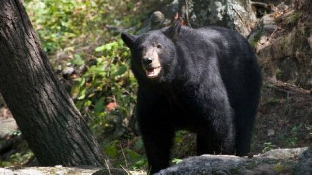 A black bear was shot and killed at a campsite in Kananaskis Country over the weekend.