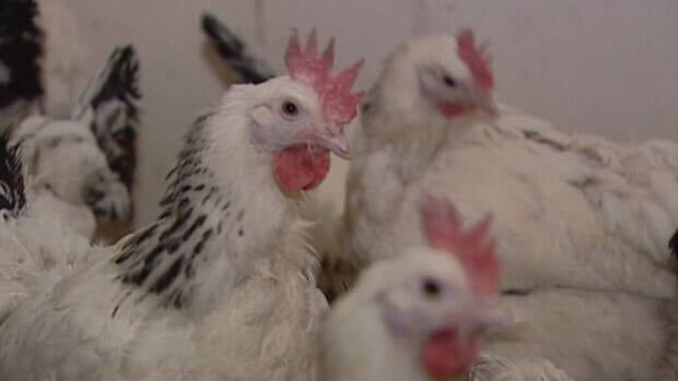 The federal government is investing $2.6 million to help western Canadian poultry produced develop vaccines and increase production capabilities.