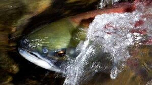 hi-bc-salmon-cp-9556117-4col