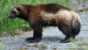 mi-istock-wolverine-300