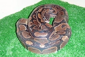 ii-python-300-cp-04400393