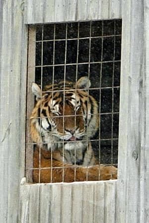 ii-tiger-cp-300-7926974