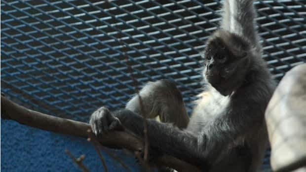 The Granby Zoo will house four spider monkeys left homeless by flooding in Calgary.