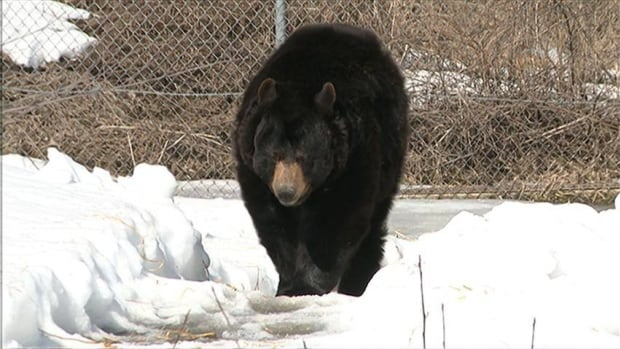 Most bears in northern Ontario went into hibernation with excellent fat reserves last fall, thanks to a bumper crop of berries.