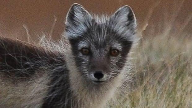 hi-852-arctic-fox-post4hr
