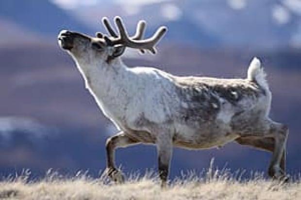 sm-300-caribou-post9hr