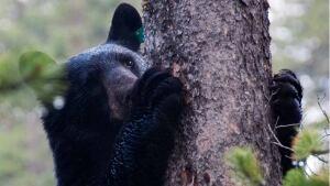 hi-bear