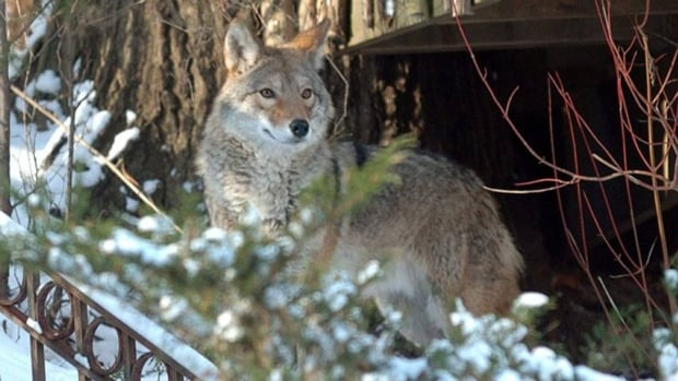 The City of Saskatoon says people should watch out for coyotes.