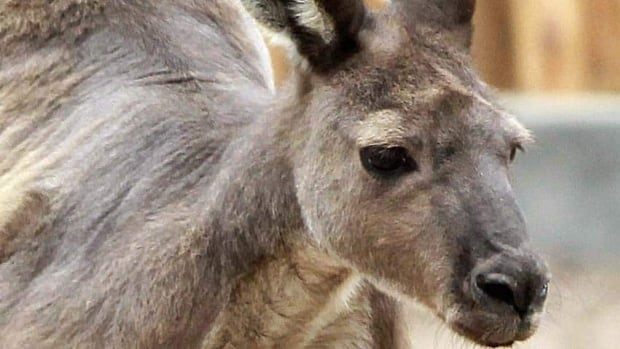 Researchers have found that wild kangaroos in Australia show a natural preference for using their left hand for some activities.