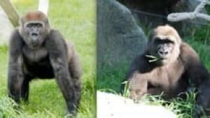 hi-gorillaszoozolashana-3col