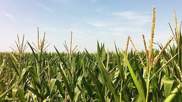 Farmers in southern Manitoba are enjoying good crop yields and high corn prices this year.