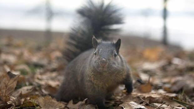 A squirrel forages for food in Toronto on Nov. 30, 2009. Chris Young/Canadian Press