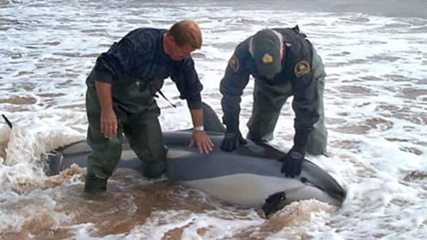 A pod of dolphins - the same species as this one that beached itself near the Magdalen Islands in 2006 - was rescued from the Cornwallis River.