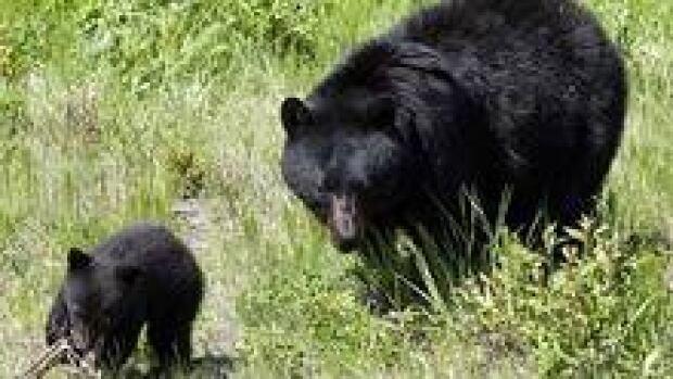 hi-bc-121002-black-bears-cp-3col