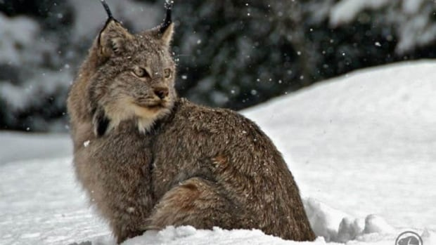 Parks Canada Conservation officer Alex Taylor caught this rare glimpse of a lynx near Lake Lousie in March.